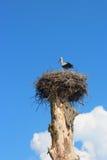 Ooievaar in het nest in de zomer Royalty-vrije Stock Afbeeldingen