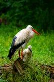 Ooievaar met jongere in nest op grond Royalty-vrije Stock Fotografie