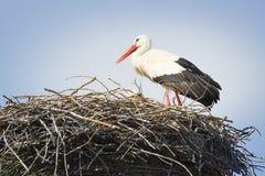 Ooievaar in nest stock fotografie