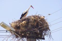 Ooievaar in nest Royalty-vrije Stock Afbeeldingen