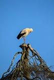 Ooievaar op een boom Stock Foto's