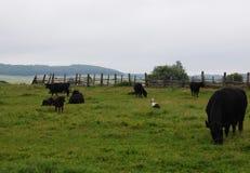 Ooievaar op een groen gras tussen koeien Stock Foto's