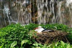 Ooievaar op een nest Stock Afbeelding