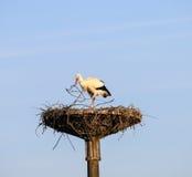 Ooievaar op een nest Stock Fotografie