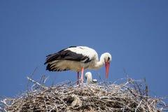 Ooievaar op het nest Royalty-vrije Stock Foto