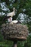 Ooievaar op nest Stock Foto's
