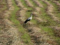 Ooievaar tijdens de jacht in een weide met gesneden gras ï ¿ ¼ royalty-vrije stock afbeelding