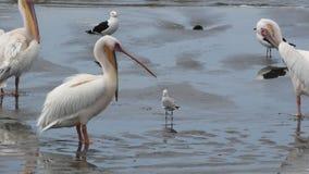 Ooievaar. Walvis bay lagoon Namibia Stock Photo