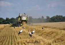 Ooievaars in de oogst field_2 Stock Afbeeldingen