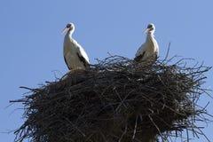 Ooievaars in het nest Royalty-vrije Stock Afbeelding