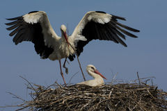 Ooievaars in het nest Stock Foto