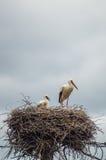 Ooievaars in het nest Stock Foto's