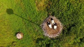 Ooievaars in het nest stock video