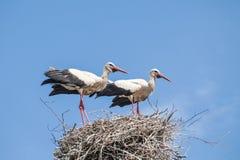 Ooievaars op het nest Royalty-vrije Stock Foto's