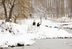 Ooievaars op sneeuw stock foto