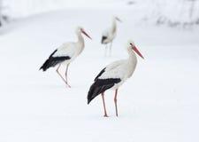 Ooievaars in sneeuw stock foto