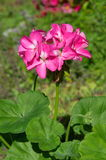 Ooievaarsbek (lat Ooievaarsbek zonale) in de tuin Stock Fotografie