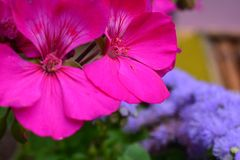 Ooievaarsbek over purpere groepsbloemen - detail stock fotografie