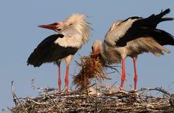 Ooievaarsfamilie in nest Stock Fotografie