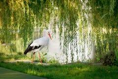 Ooievaarsgangen door het meer met wilgen Stock Foto