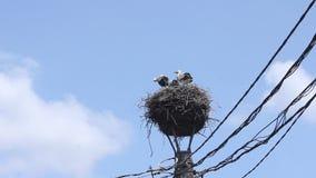 Ooievaarskuikens in het nest Stock Foto's