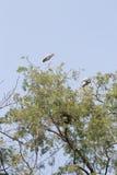 Ooievaarsvogel bij de bovenkant van boom Royalty-vrije Stock Foto