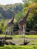 Ook giraf in het park stock foto