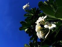Ooking μέχρι το δέντρο Plumeria και άσπρο λουλούδι στο σαφές υπόβαθρο ουρανού Στοκ φωτογραφία με δικαίωμα ελεύθερης χρήσης