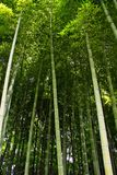 Bamboo Forest. Ooking up in a lush bamboo forest in Japan Royalty Free Stock Photography