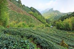 Oolong茶园在台湾 免版税库存照片