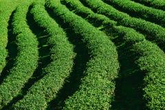 Oolong herbaciana plantacja fotografia stock