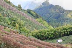 Oolong Herbaciana plantacja w Tajwan obraz royalty free