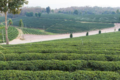 Oolong tea farm Stock Photo