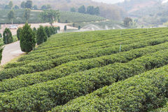 Oolong tea farm Royalty Free Stock Image