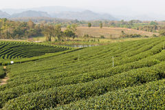 Oolong tea farm Stock Images