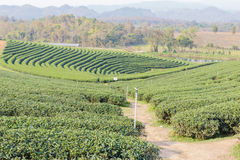 Oolong tea farm Royalty Free Stock Photos