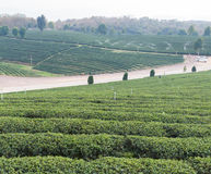 Oolong tea farm Royalty Free Stock Photography