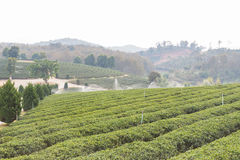 Oolong tea farm Royalty Free Stock Photo