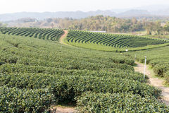 Oolong tea farm Stock Photos