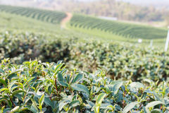 Oolong tea farm Stock Image