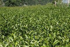 Oolong tea in the field,tea,Formosa Oolong Tea, Royalty Free Stock Photos