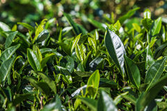 Oolong tea leaves on tree in plantation. Stock Photos