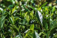 Oolong tea leaves on tree in plantation. Fresh oolong tea leaves on tree in plantation Stock Photos