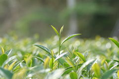 Oolong-Tee auf dem Gebiet Stockfotos