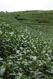 Oolong-Tee auf dem Gebiet Lizenzfreies Stockbild