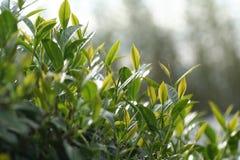 Oolong-Tee auf dem Gebiet Lizenzfreie Stockbilder