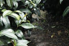 Oolong-Tee auf dem Gebiet Lizenzfreie Stockfotos