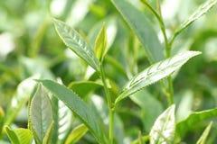 Oolong-Tee auf dem Gebiet Stockbild