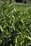 Oolong-Tee auf dem Gebiet, Tee, Tee Formosas Oolong, Stockbilder