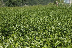 Oolong-Tee auf dem Gebiet, Tee, Tee Formosas Oolong, Lizenzfreie Stockfotos